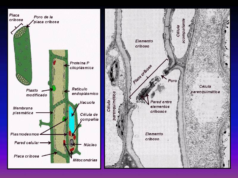 Bioenergetica Librobotanicaonline Crecimiento Vegetal