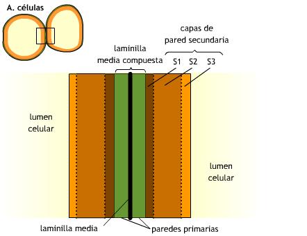 esquema de pared celular: