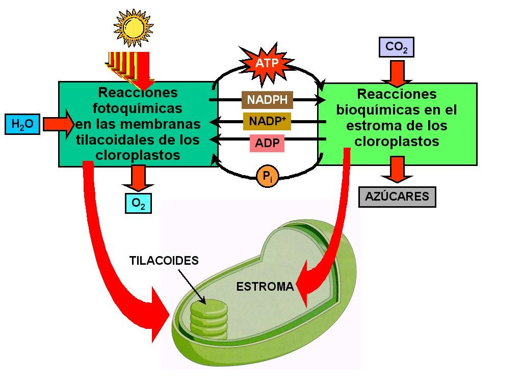 La lecitina a la psoriasis por pegano