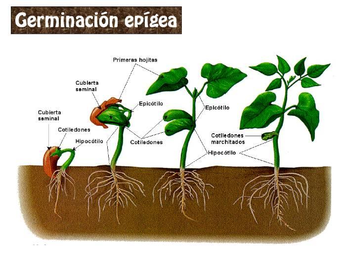 La Germinación de las semillas