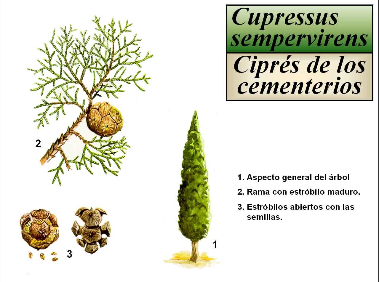 Resultado de imagem para cupressus sempervirens