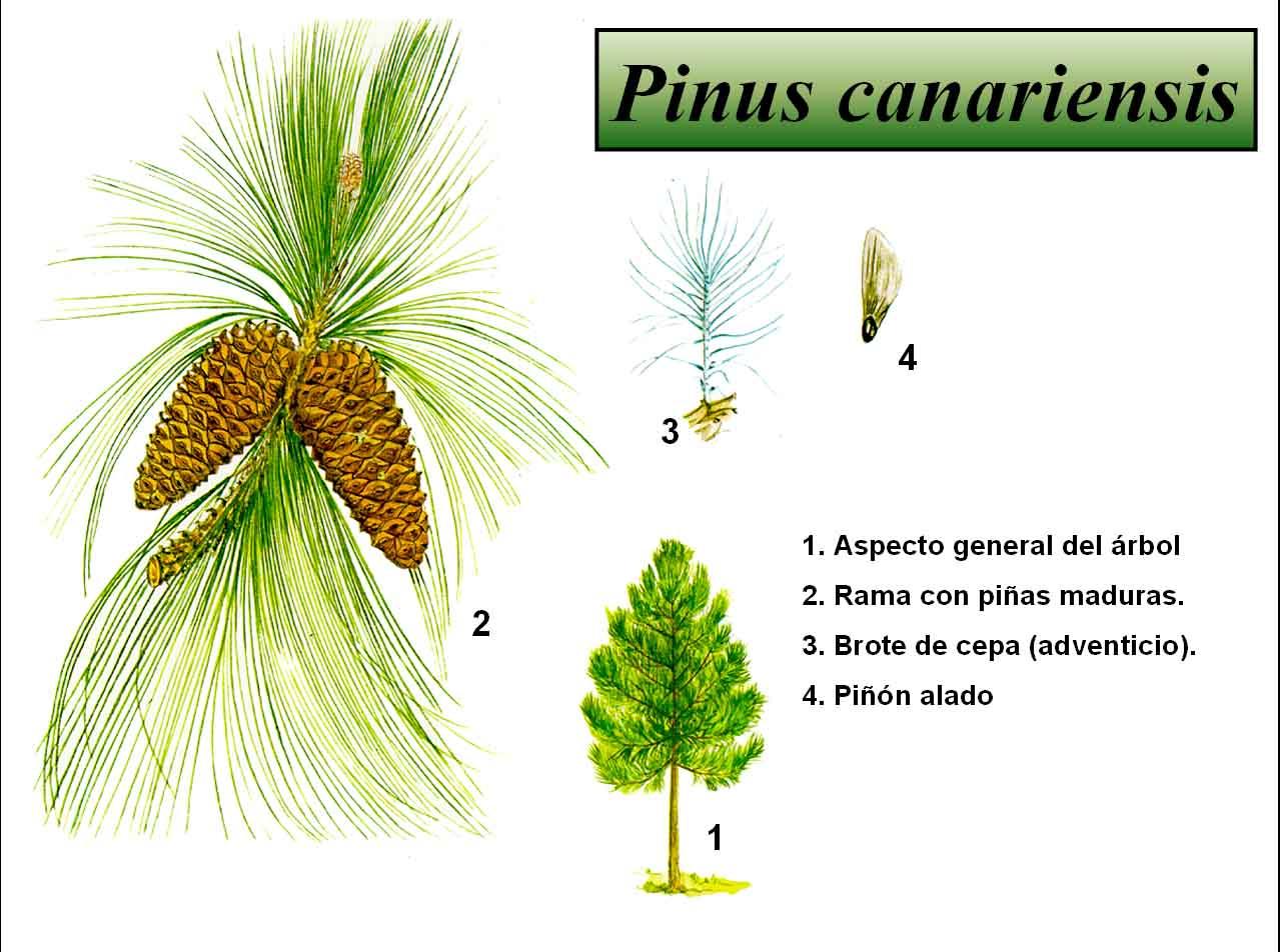 Pinus canariensis botanical