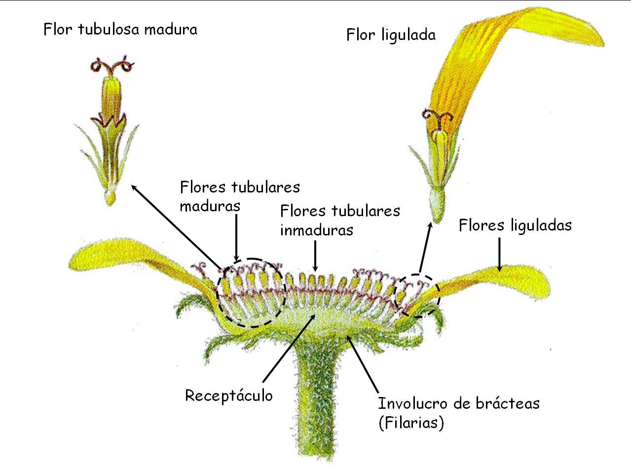 fruto en aquenio con o sin vilano ayuda para la diseminacin anemfila