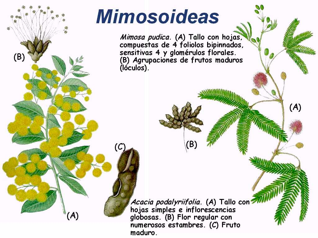 Leguminosas for Tipos de arboles y caracteristicas