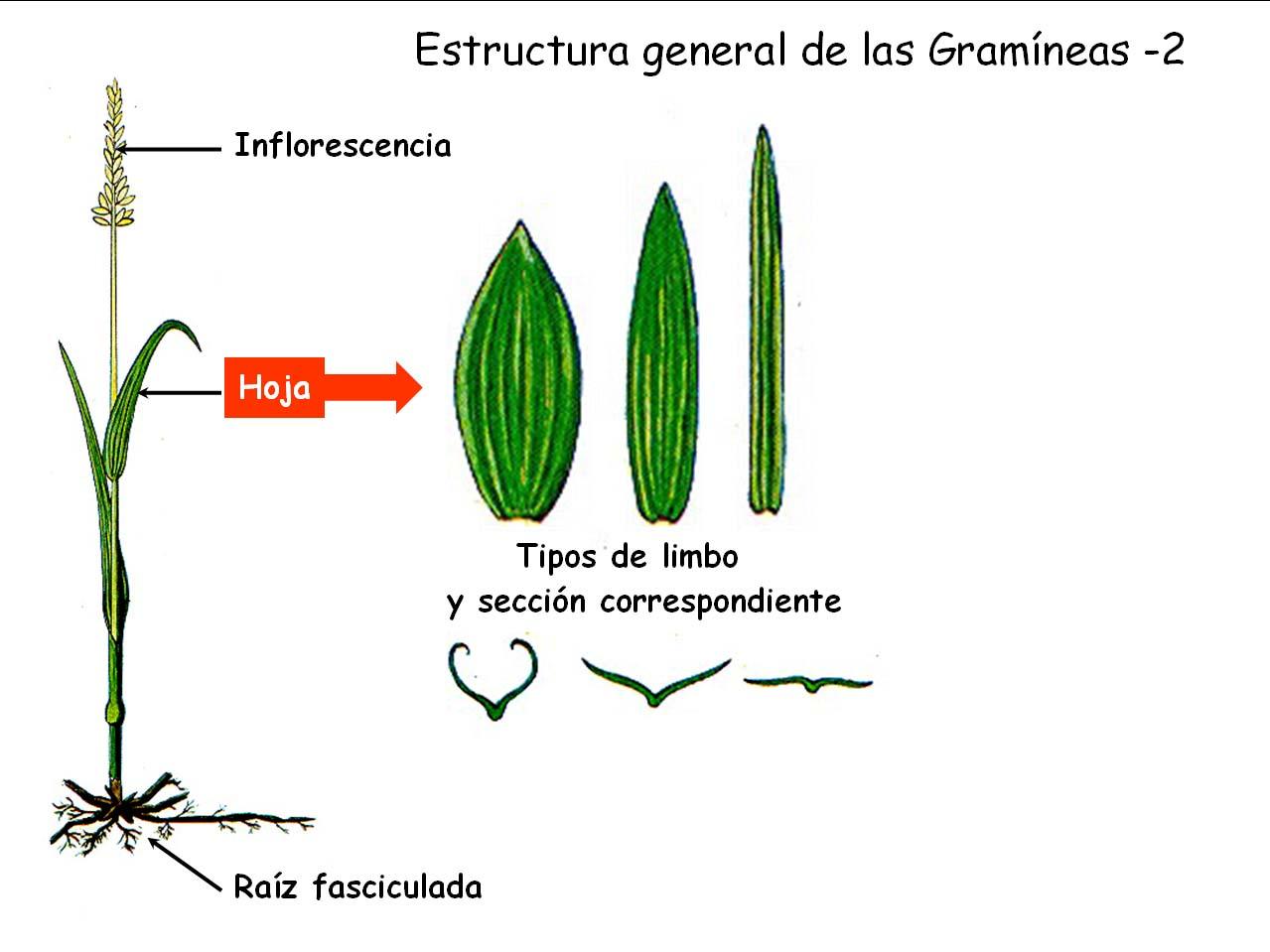 Clasificación usaremos criterios agronómicos no taxonómicos