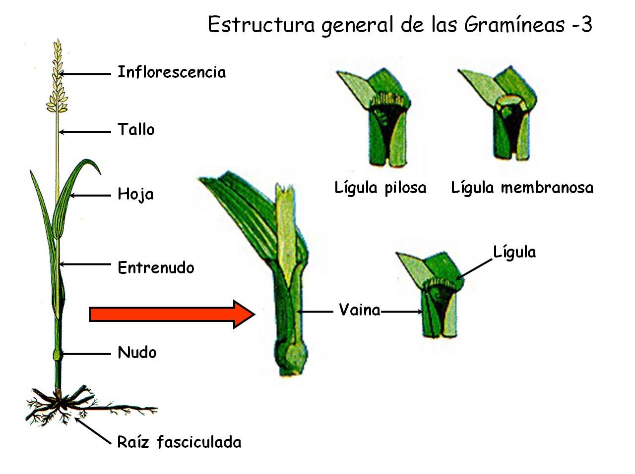 Perfecto Diagrama De Planta Anatomía Adorno - Imágenes de Anatomía ...